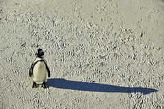 African penguin and shadow. Stock Photo