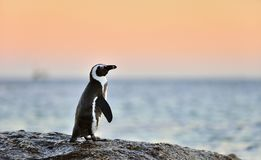 The African penguin on the shore in  evening twiligh,red sunset sky. Royalty Free Stock Image