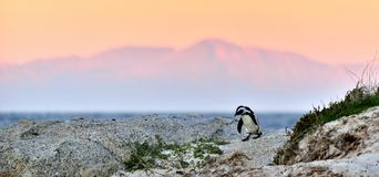 The African penguin on the shore in evening twilight. Red sunset sky. Stock Photo