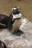 African Penguin. At Singapore bird park Royalty Free Stock Images