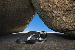 The African penguin Stock Photo