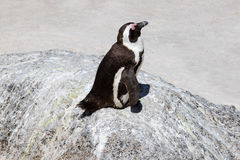 African penguin sleeping, Boulders Beach, South Africa Stock Image