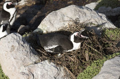 African Penguin South Africa sitting on nest Royalty Free Stock Image