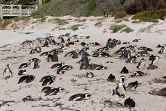 African penguin (spheniscus demersus) Stock Image