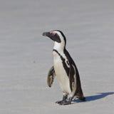 African penguin (spheniscus demersus) Stock Photos