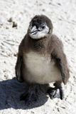 African penguin spheniscus demersus Stock Photos