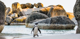 Free African Penguin  Spheniscus Demersus Stock Photos - 82588593