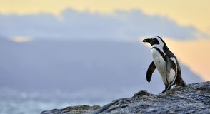 The African penguin  in evening twilight with sunset sky. Stock Photography
