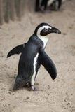 African penguin Spheniscus demersus Royalty Free Stock Image