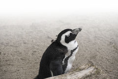 African penguin  Spheniscus demersus also known as the jackass. Penguin and black-footed penguin Royalty Free Stock Photography