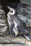 African Penguin, Spheniscus Demersus, also known as the Jackass. Penguin Royalty Free Stock Photography