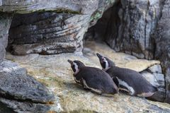 African Penguin, Spheniscus Demersus, also known as the Jackass Penguin.  Royalty Free Stock Photography