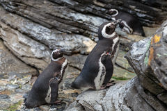 African Penguin, Spheniscus Demersus, also known as the Jackass. Penguin Royalty Free Stock Photos