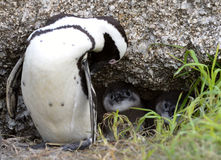 The African penguin (Spheniscus demersus) babys Stock Photo