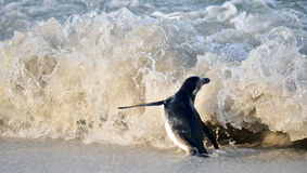 African penguin (spheniscus demersus) and Big wave Royalty Free Stock Image