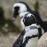 African Penguin Spheniscus Demersus bird in natural habitat land Stock Photo