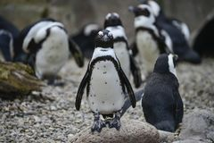 African Penguin Spheniscus Demersus bird in natural habitat land Stock Images