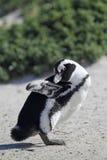 African Penguin (Spheniscus demersus) Royalty Free Stock Image