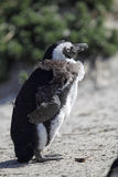 African Penguin (Spheniscus demersus) Stock Photos