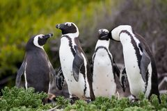 African penguin Spheniscus demersus on Boulders Beach near Cape Town South Africa stock photos