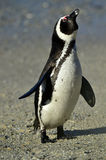 African penguin (spheniscus demersus) at the Boulders colony. South Africa Stock Photos
