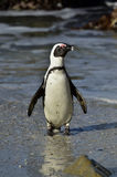 African penguin (spheniscus demersus) at the Boulders colony. South Africa Royalty Free Stock Image