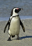 African penguin (spheniscus demersus) at the Boulders colony. South Africa Stock Photography