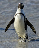 African penguin (spheniscus demersus) at the Boulders colony. South Africa Royalty Free Stock Photos
