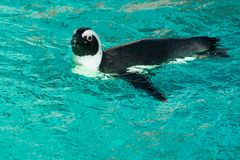 African Penguin - Spheniscus demersus. Captive African Penguin taking a relaxing swim in the pool.  Also knows as the Black-footed penguin.  Toronto, Ontario Royalty Free Stock Photography