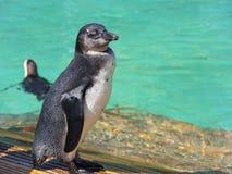 African penguin (Spheniscus demersus) chick Stock Image
