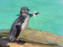 African penguin (Spheniscus demersus) chick Stock Photos