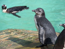 African penguin (Spheniscus demersus) chick Stock Images