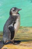 African penguin (Spheniscus demersus) chick Royalty Free Stock Image