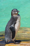 African penguin (Spheniscus demersus) chick Stock Photo