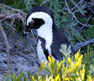 African penguin(Spheniscus demersus) in foliage, Western Cape, South Africa Royalty Free Stock Photography