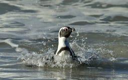 African penguin (spheniscus demersus) leave the ocean Royalty Free Stock Photo