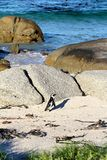 African penguin(Spheniscus demersus) Lone Penguin, Western Cape, South Africa Stock Image