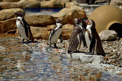 The African penguin (Spheniscus demersus) Stock Photo