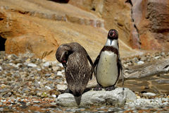 The African penguin (Spheniscus demersus) Stock Photos