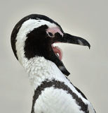 African Penguin (spheniscus demersus) with open beak Royalty Free Stock Image