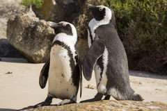 African Penguin (Spheniscus demersus) pair. On beach Royalty Free Stock Photography