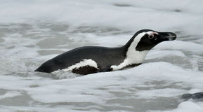African penguin (spheniscus demersus) Stock Photography