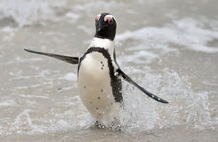 African penguin (spheniscus demersus) Royalty Free Stock Photo