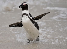 African penguin (spheniscus demersus) Royalty Free Stock Images