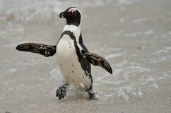 African penguin (spheniscus demersus) Stock Images
