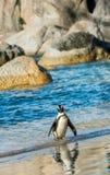 African penguin  Spheniscus demersus. African penguin  on the sandy beach. African penguin  Spheniscus demersus also known as the jackass penguin and black Royalty Free Stock Images