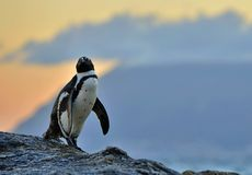 The African penguin  in evening twilight with sunset sky. Royalty Free Stock Images