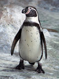 African penguin Spheniscus demersus. On snow background Royalty Free Stock Photography