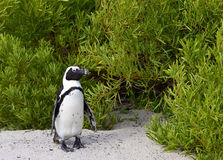 African penguin. Royalty Free Stock Images