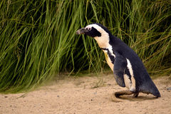 African penguin Royalty Free Stock Photos